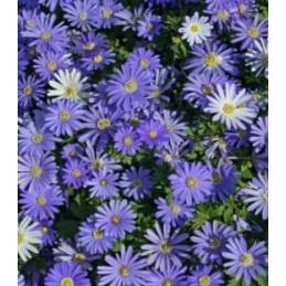 BLUE SHADES - 10 bulbi Anemone