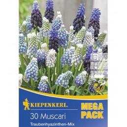 MUSCARI MIX - 30 bulbi Olanda