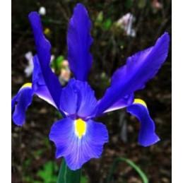 IRIS HOLLANDICA BLUE...
