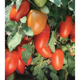 TYGO F1 - 1000 Seminte rosii